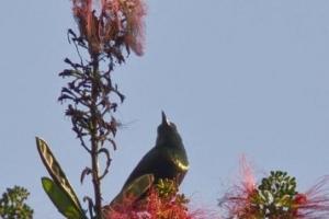 Bronze Sunbird 0208