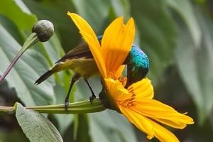 Collared sunbird 0416